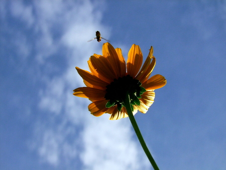 hover: Hover Fly above Daisy