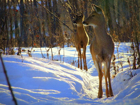 white tail deer: White Tail Deer on a Path