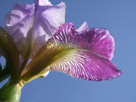 bearded iris: Close up of a Bearded Iris