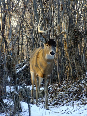 white tail deer: White Tail Deer in Wiinter