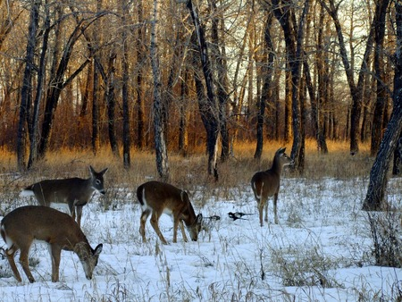 white tail deer: Herd of White Tail Deer in Winter