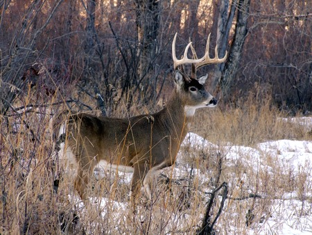 white tail: Tail White Buck in inverno