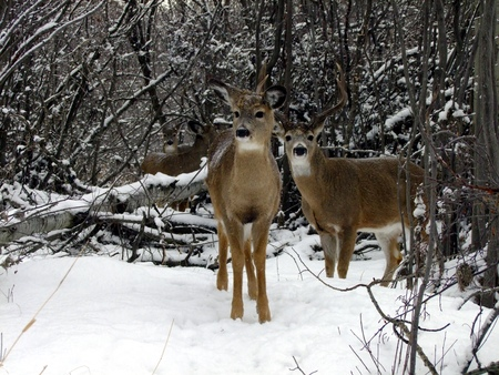 white tail deer: Stag and White Tail Deer in Winter