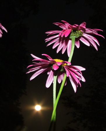 Purple Daisy van Moonlight