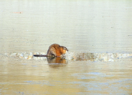 mouse hole: Muskrat by hole in Iced over Water