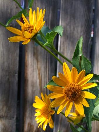 Yellow Daisy against Fence Stok Fotoğraf