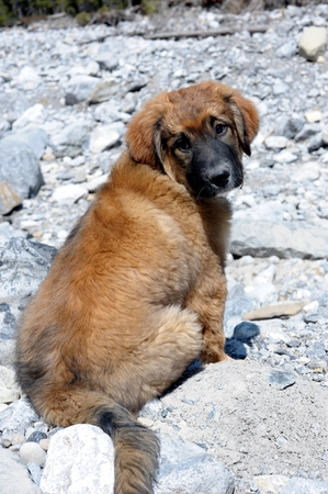 pyrenees: Pyrenees Puppy Cross on Hike Stock Photo
