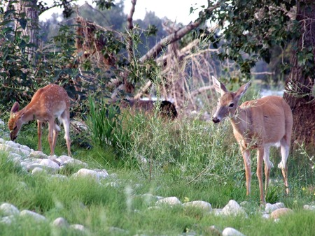 white tail deer: White Tail Deer and Fawn