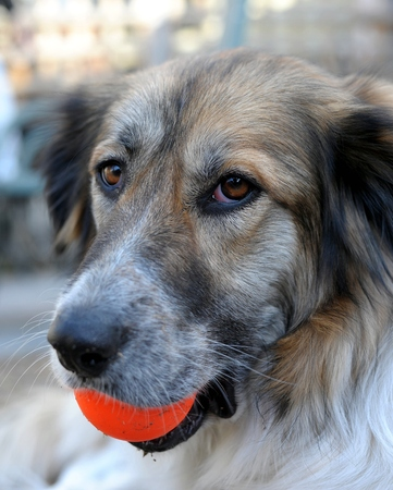 mutt: Border Collie and Ball