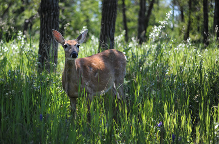 white tail: White Tail Deer in the City Park