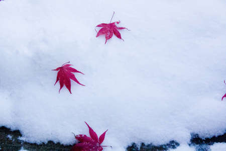 Japanese Maple leaves on the snow photo