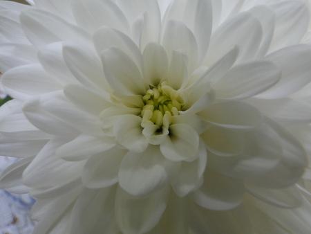 White chrysanthemum close up
