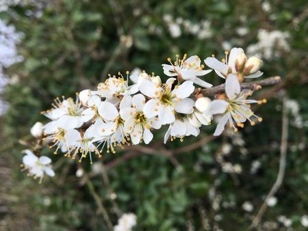Hawthorn bush in spring
