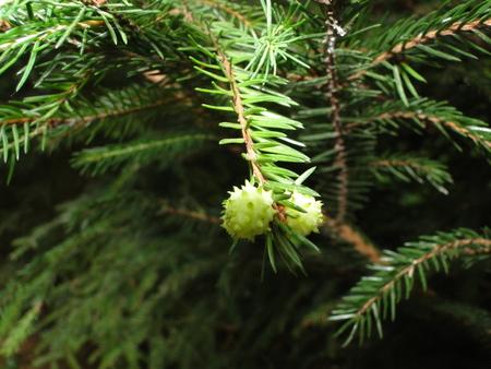 New pine cones on spruce brances Stock Photo