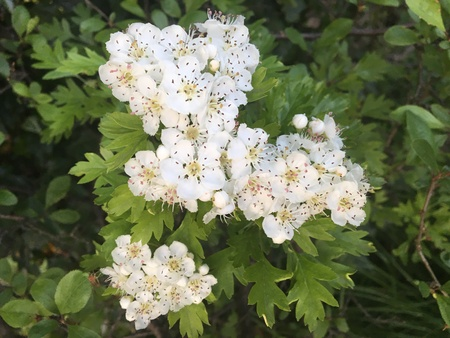 Hawthorn (Crataegus monogyna) branch with flowers Imagens