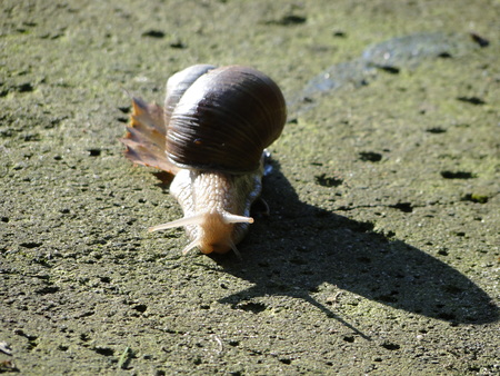 Garden snail on the path - close up