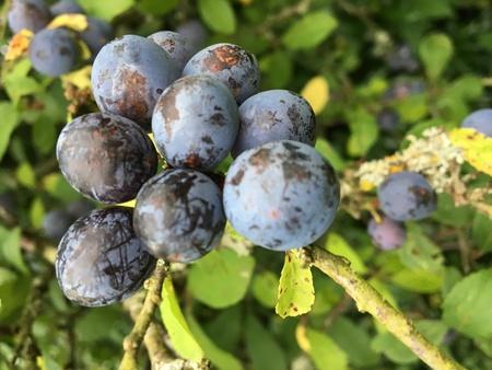 Blackthorn Fruit - Prunus spinosa, wild fruit harvest in autumn