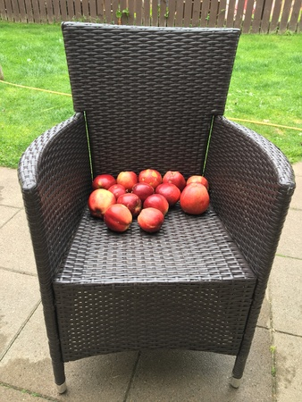 Home grown, organic Gala apples on a outside chair.