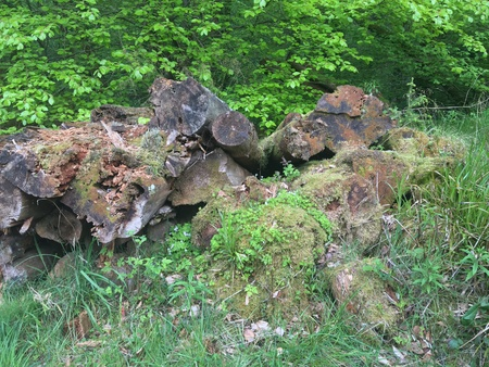 Cut trees rotting in the forest