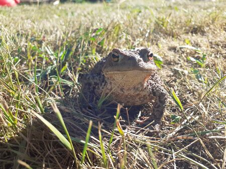 Natterjack sitting in the grass - close up 写真素材