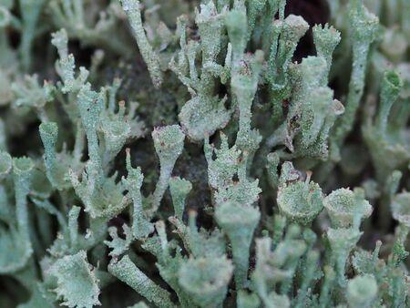Cladonia coccifera and Cladonia diversa or Pyxidata close up