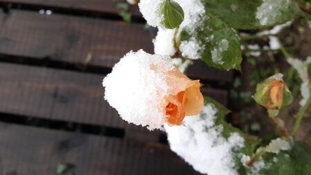Garden rose blossom covered in snow