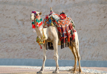 Camel in the desert with ornaments to accompany the tourists on holiday