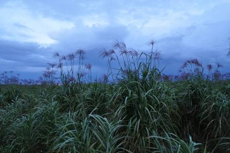forage: Field of forage plants under a stormy sky Stock Photo