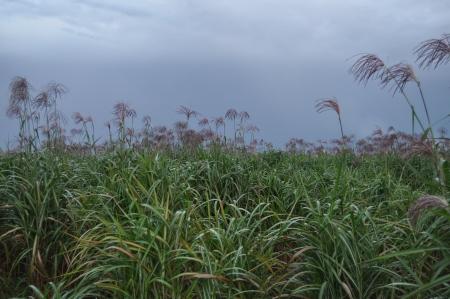 forage: Field of forage plants under a stormy sky 4