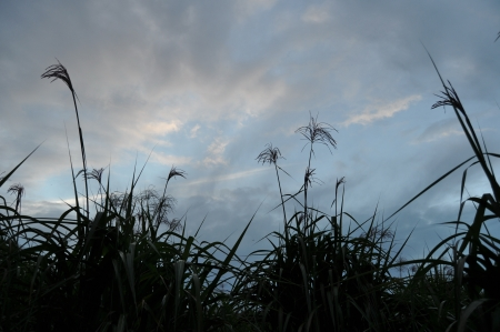 forage: Field of forage plants under a stormy sky 3