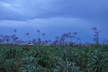 forage: Field of forage plants under a stormy sky 5