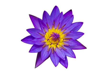 Purple Lotus on White Background  photo
