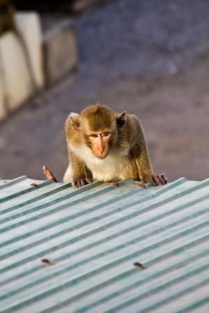 clamber: Scimmia arrampicarsi sul tetto