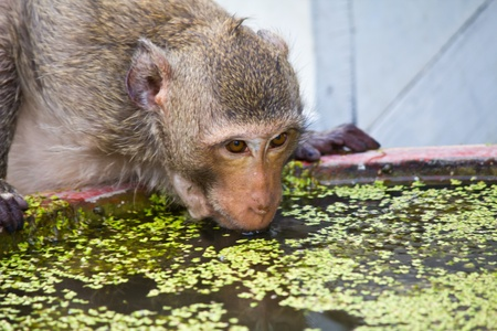 monkey drinking water in sink at lopburi thailand