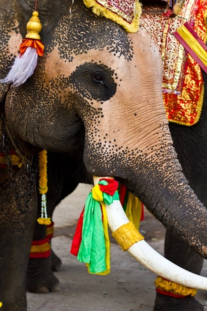 elephant close up in lopburi of Thailand