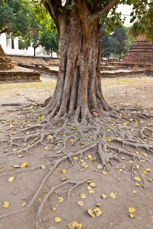 Bodhi tree roots, ayutthaya provincie van Thailand
