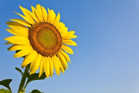 zonnebloem: Blooming zonnebloem op de blauwe hemelachtergrond