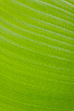 Fresh green banana leaf can be used for backgrounds. Stock Photo