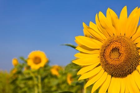 Porträt von eine Sonnenblume im Feld Standard-Bild