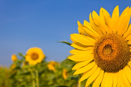 portrait of a sunflower in the field Stock Photo - 10507467