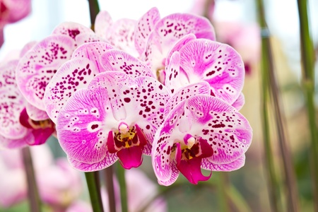 Closeup purple butterfly orchids of the Phalaenopsis genus Stock Photo