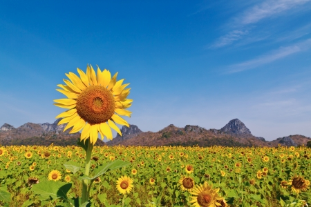 Sunflower field background mounten and blue sky photo