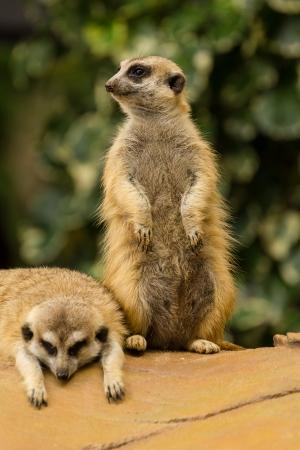 Meerkat rond te kijken en het controleren van zijn omgeving