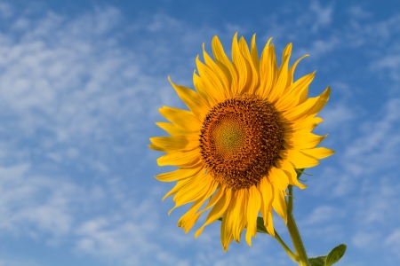 Beautiful sunflower with cloud and blue sky