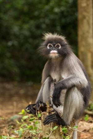 dusky: Dusky leaf monkey sitting on a tree stump