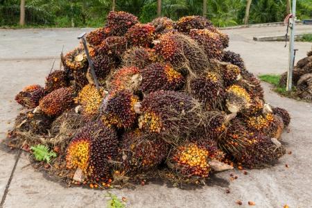 Vruchten van de oliepalm vóór verwerking in Thailand Stockfoto