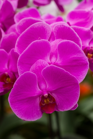 Closeup purple butterfly orchids in the garden Stock Photo