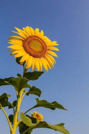 Blooming sunflower in the blue sky background Stock Photo