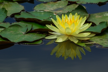 Beautiful yellow water lily on calm pond surface photo