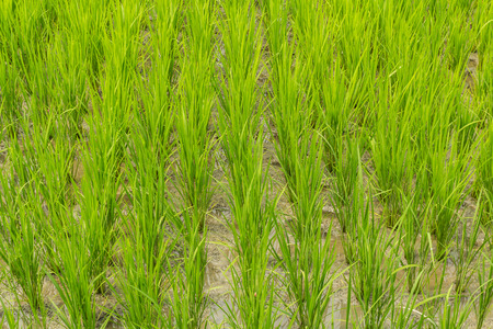 Paddy rice fields waiting for harvest growing